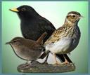 Insektovorne ptice MEKOKLJUNCI